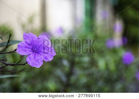 Purple Flower Or Ruellia Squarrosa (fenzi) Cufod  In Garden.