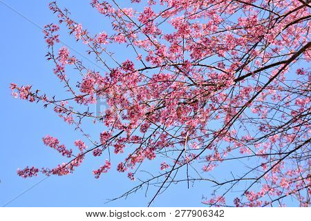 Wild Himalayan Cherry Blooming / Pink Tree Of Cherry Blossom Or Sakura Flower - Wild Himalayan Cherr