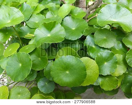 Asiatic Leaves - Green Leaf In The Garden / Beautiful Circle Green Leaves Of Asiatic Leaves Herb Cen