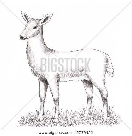A Female Deer