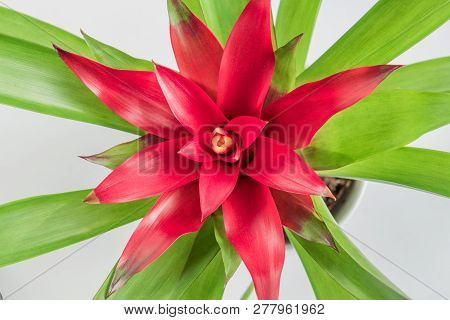 Top View Of Red Bromeliad (bromeliaceae)  Tropical Flower In White Background