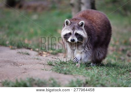 Full Body Adult Male Common Raccoon. Photography Of Nature And Wildlife.