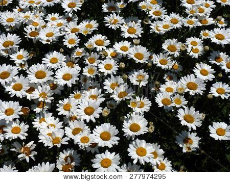 Many Daisies As A Floral Natural Background