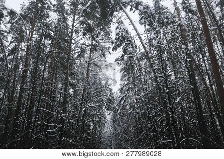 Beautiful Snow-covered Tall Pine Forest. Tall Pines