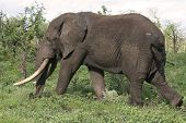 big elephant bull walking past with his huge tusks poster