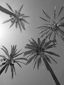 Silver coconut palms tending upwards on hot summer day. Travel to Spain. Outdoor. Black and white photo. poster