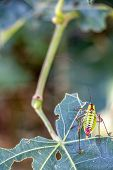 Close rear view of Poecilimon thoracicus, Phaneropteridae bush-cricket on a damaged lime tree leaf, natural blurred background poster