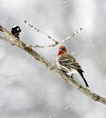 Male house finch perched on a tree branch with snow falling poster