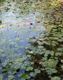 A Lotus Pond With The Sky Reflected In The Water