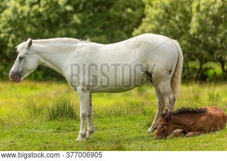 Connemara White Pony With Her Little Brown Foal Lying In The Grass Surrounded By Green Vegetation Wi