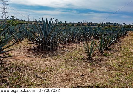 Blue Agave Plantation On A Farm Field With Huge Electricity Pylons In The Background, Sunny Day With