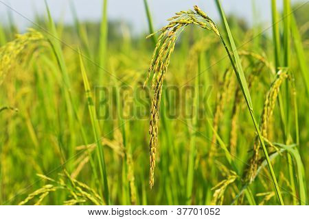 Ear Of Rice Paddy