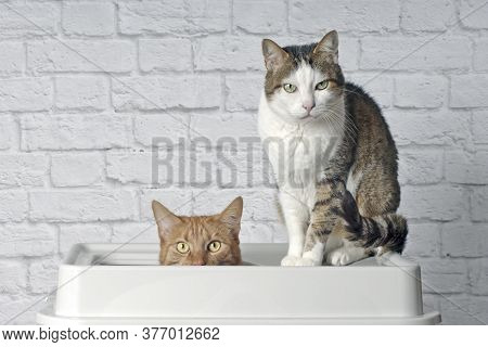 Funny Ginger Cat Sitting In A Top Entry Litter Box Beside A Tabby Cat And Looking Curious To The Cam