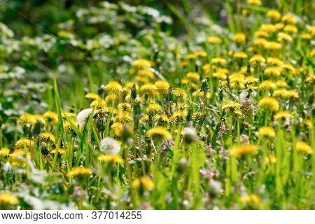 Selective Focus On Dandelion Flower, Flowering Flowers In Meadow, Beauty In Nature