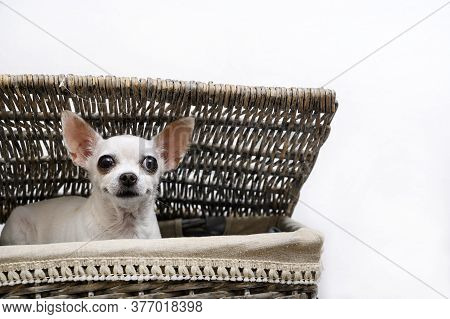 A Chihuahua Dog Sits In A Laundry Basket With Interest Peeks Out From Under The Basket Lid, Lying On
