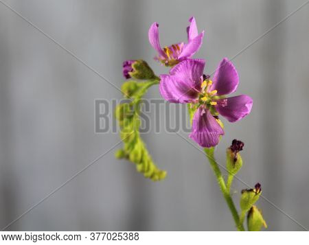 Flower Plant Carnivorous Small Purple Smell Color Beautiful Rarity