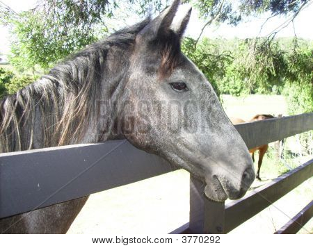 Brumby Looking Over Fence At Mountainthyme Sanctuary.