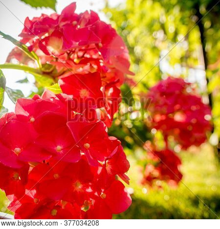 Hydrangea Hortensia Blossoming, Sommer Time In The Garden With Strong Sunset Light And Light Sparks