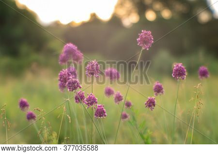 Blur. Summer Meadow With Wild Garlic Thickets Close-up At Sunrise. Natural Background. The Concept O