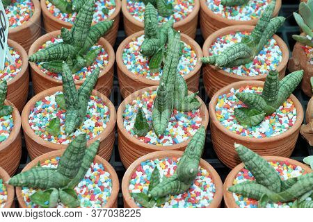 Background Pattern Of Small Cactus In Terracotta Pots With Colorful Grit.