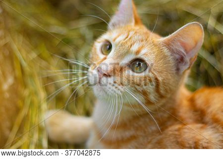 Cute Red Cat Looks Into The Frame . Pet. Cat On The Background Of Grass. Cats Green Eyes . Cat Close