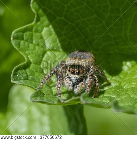 Frontal Closeup Shot Of A Jumping Spider On A Green Leaf In Sunny Ambiance