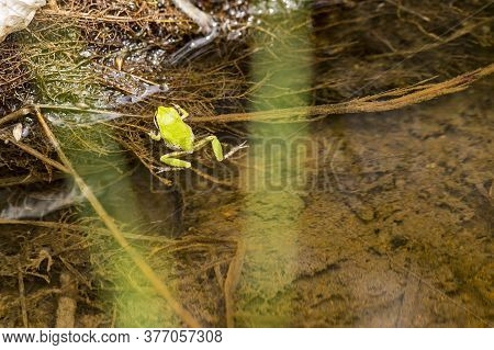 Green Tree Frog Clinging To The Edge Of A Brown Slimy Pond