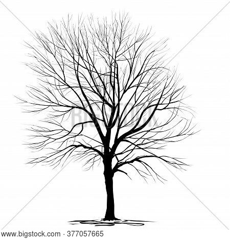 Silhouette Of Ash-tree (fraxinus L.) With Fallen Foliage, In Winter, Black Vector Image On A White B