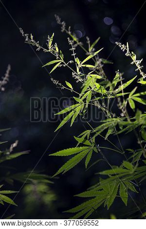 Flowering Cannabis.the Backlit,evening Light Hemp Leaves.light Draws The Texture Of The Sheet.green