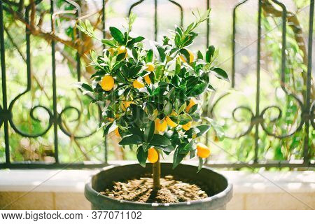 Kumquat Tree In A Pot With Yellow Fruits.