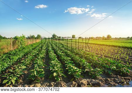Eggplant Plantations Grow In The Field On A Sunny Day. Organic Vegetables. Agricultural Crops. Lands