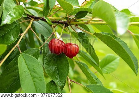 Two Red Ripe Heart Cherries With Water Drops Hanging On The Branch Of A Cherry Tree, Surrounded By G