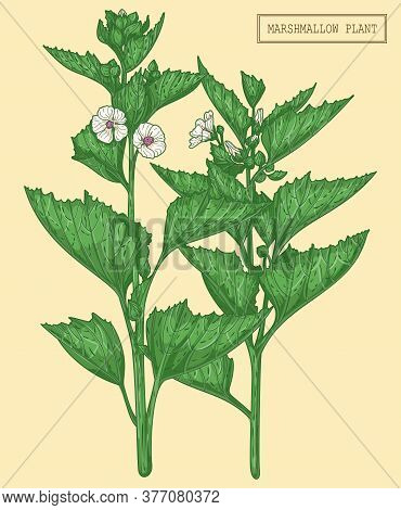 Medical Marshmallow Plant, , Hand Drawn Botanical Illustration In A Trendy Modern Style