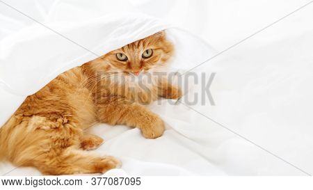 Cute Ginger Cat Lies On Unmade Bed. Fluffy Pet Under White Crumpled Bed Sheet. Fuzzy Domestic Animal