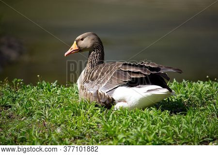 Domestic Ducks In The Village On The Green Grass