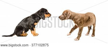 Curious Puppies Breed Pitbull And Slovakian Hound Isolated On White Background