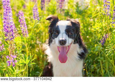Outdoor Portrait Of Cute Smiling Puppy Border Collie Sitting On Grass, Violet Flower Background. Lit