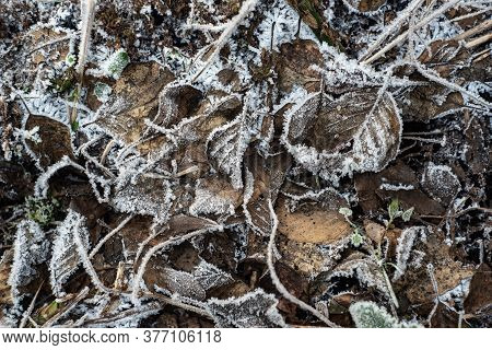 Beautiful Natural Patterns Of Frost Crystals On The Grass, Leaves And Branches Hanging On The Ice Fr