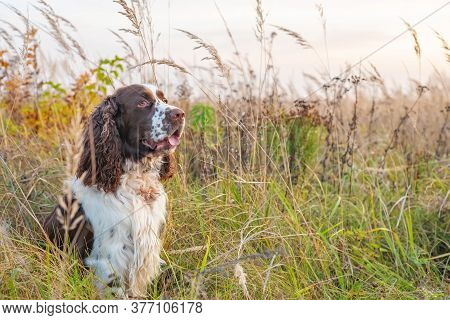 The Gun Dog Sits In The Wild Grass Autumn Field. Young Hunting Dog In The Autumn Forest. English Spr