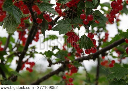 Ripe Berries Of Red Currant. Bunch Of Red Currants On A Branch. Red Currant Background.
