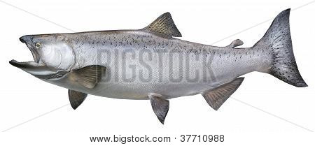 King or chinook salmon isolated on white