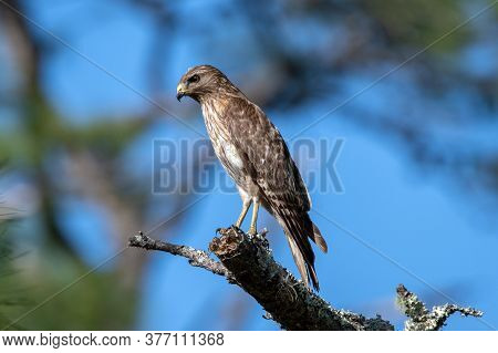 A Red Shouldered Hawk Perched In A Tree While Hunting