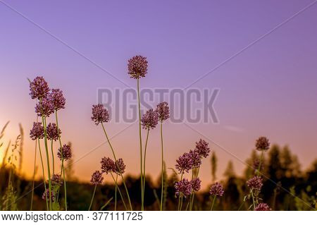 The Stems Of Wild Garlic From Mature Seeds Of A Closeup Of A Pink Sunrise. Natural Background.