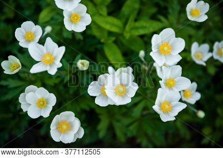 White Summer Flowers Background. Awesome Beautiful Flowerbed With Small Petals. Excellent Plant For