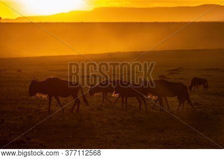 White-bearded wildebeest, connochaetes taurinus, walking  and grazing in the open grasslands of the Masai Mara at sunset.  Masai Mara National Park, Kenya.