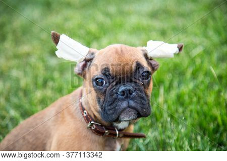 Portrait Of A Three-month-old Bulldog Puppy With A Questioning Look. The Ears Are Bandaged For Prope