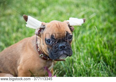 Portrait Of A Three-month-old Bulldog Puppy With A Sad Look. The Ears Are Bandaged For Proper Growth