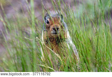 A Ground Squirrel Looking Through Tall Grass.