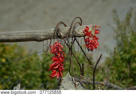 Bunches Of Bright Red Chillies Have Been Left To Dry In The Sun. They Are Hanging Over A Wooden Pole