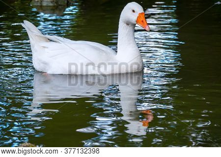 Domesticated Grey Goose, Anser Cygnoides Domesticus, Swims In A Lake With Green Water. Domesticated
